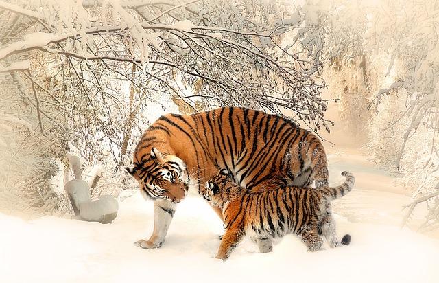 tiger-591359_640