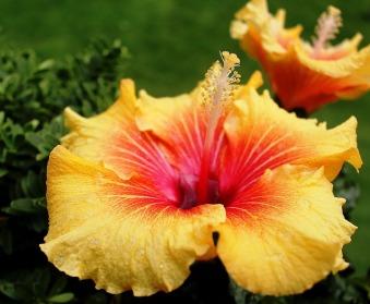 hibiscus-426285_640